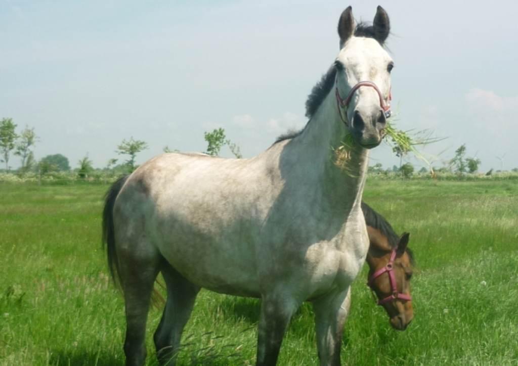 Holsteiner Pferd Campus von Clinsmann (Cassini II, Piroschka) und Tamara (Lord Calato, Indira)