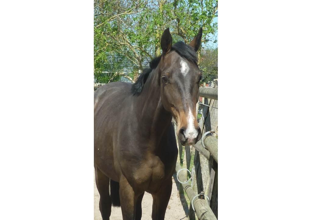 Holsteiner Pferd Cascadeur von Cachas (Caretino, Pericula) und Ariana (Corrido, Pauline)