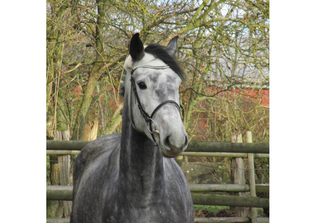 Holsteiner Pferd Etoile von Cachas (Caretino, Pericula) und Ariana (Corrido, Pauline)