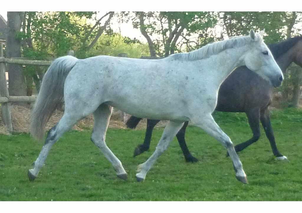 Holsteiner Pferd Tamara von Calato (Capitol I, Vanessa) und Indira (Lord Calando, Bellinda)